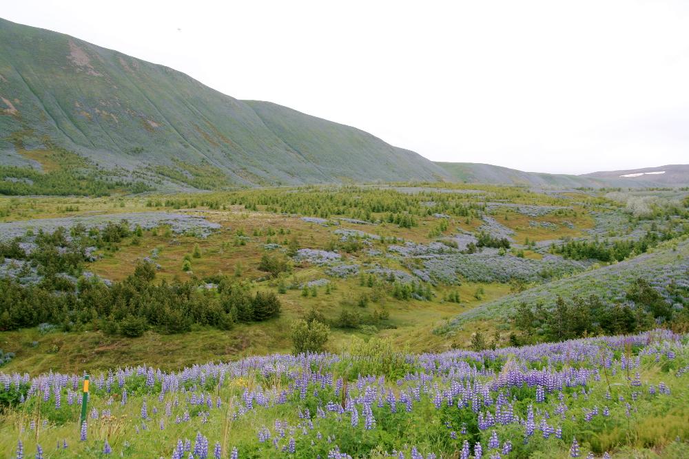 Lupinenfelder