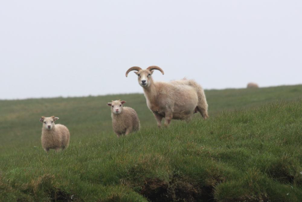 Schafe starren uns an